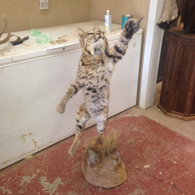 Taxidermy Bobcat Stage 3
